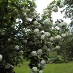 Sniega pika ( koka hortenzija )