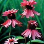 Echinacea- rozā