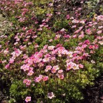 Rāzīte- rozā