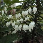 Sirsniņs- balta