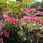 Sirsniņa- rozā