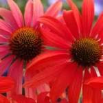Echinacea- tomātu sarkana