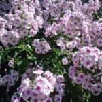Flokši- rozā