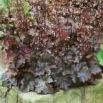 Heuchēra- korallis