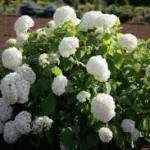 Hortenzija balta kokveida